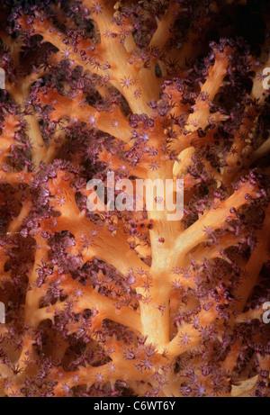 Gorgonian Coral (Gorgonacea) polyps opening and feeding on plankton. Papua New Guinea, Bismarck Sea - Stock Photo