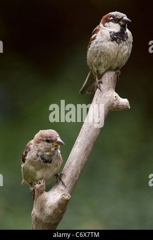 Two House Sparrows on lookout - Stock Photo
