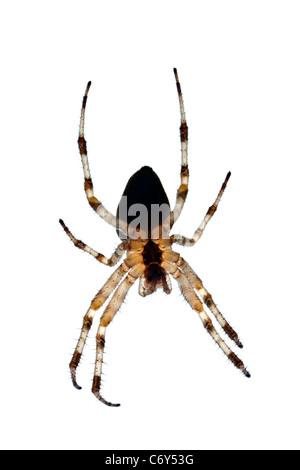 A close-up on a female garden spider (Arenatus diadematus). Épeire diadème (Araneus diadematus) femelle en gros - Stock Photo