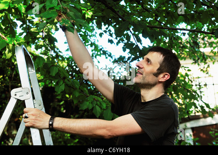 Man on ladder picking tree - Stock Photo
