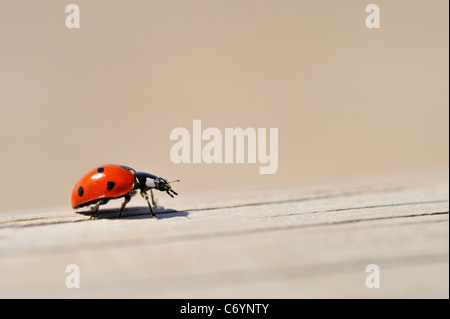 Ladybug / Ladybird on wooden fence close-up - Stock Photo
