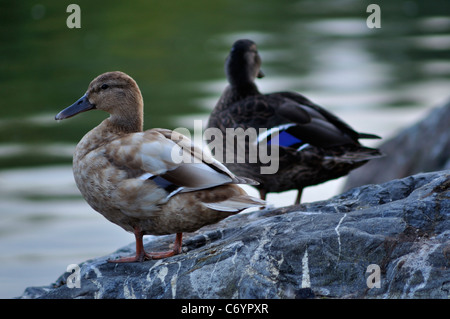 animal, beak, beautiful, beauty, big, bird, birds, black, blue, bright, closeup, cute, cygnets, cygnus, dark, duck, - Stock Photo