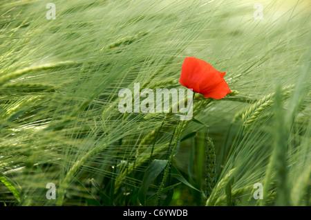 Flower - single poppy in a wheat field in France, Europe - Stock Photo