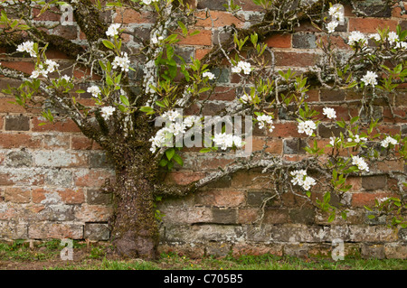 The delicate white blossom of an Apple tree trained against an 18th Century brick wall at Rousham House in Oxfordshire, - Stock Photo