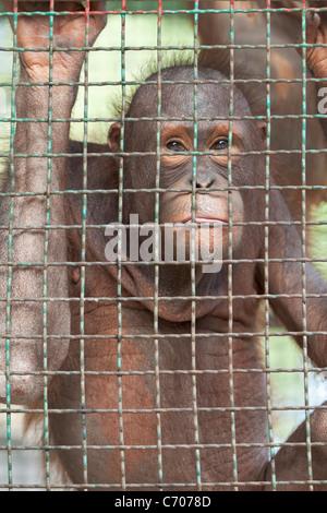 Orangutan behind a  zoo cage. - Stock Photo