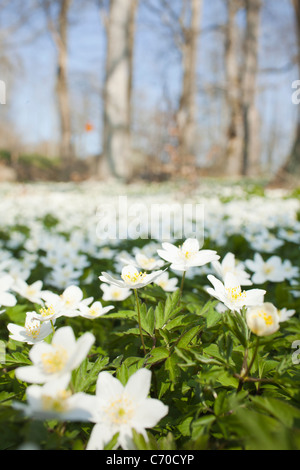 Field of white flowers - Stock Photo