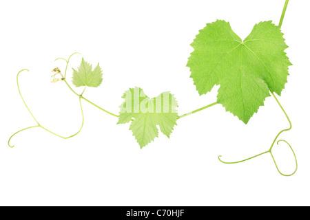 Grape vine leaves - Stock Photo