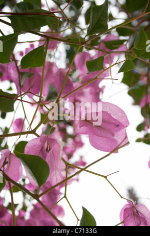 Bougainvillea, Pink flower subject, - Stock Photo