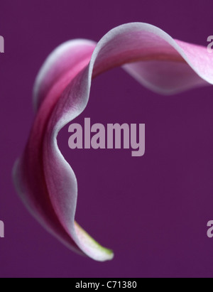 Lilium, Lily, Pink flower petal subject, Purple background - Stock Photo