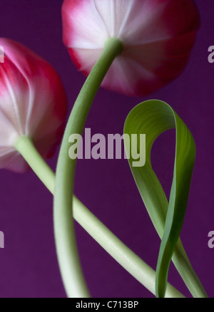 Tulipa, Tulip, Pink flower subject, Purple background - Stock Photo