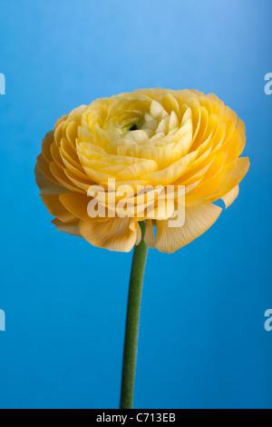 Ranunculus, Yellow flower subject, Blue background - Stock Photo