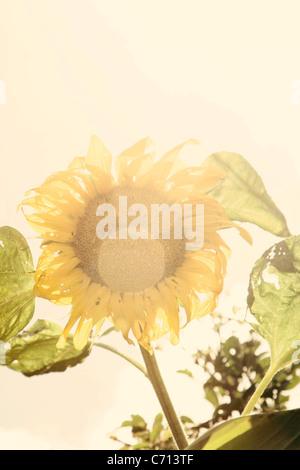 Helianthus annuus, Sunflower, Yellow subject, White background - Stock Photo