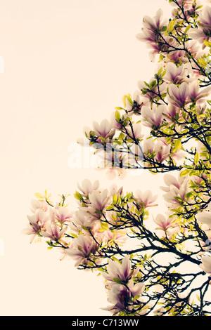 Magnolia, Pink flowers on tree subject, White background - Stock Photo