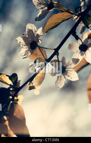 Prunus, Cherry, Pink flower blossom on tree branch subject, - Stock Photo