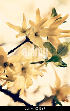 Forsythia, Yellow flower subject, - Stock Photo