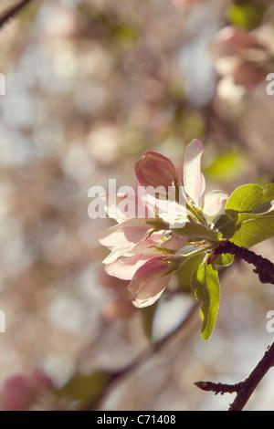 Malus domestica, Apple, Pink flower blossom subject, - Stock Photo
