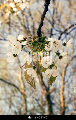 Prunus, Cherry, White flower blossom on branch of tree subject, - Stock Photo