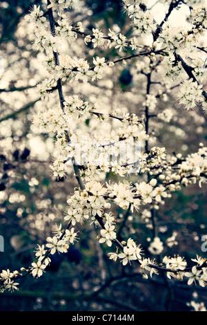 Prunus spinosa, Blackthorn, Sloe, White flower blossom subject, - Stock Photo