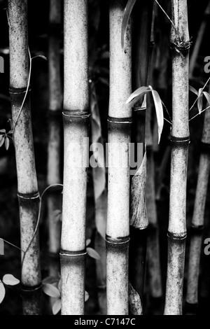 Bambusa, Bamboo canes, Black & white,