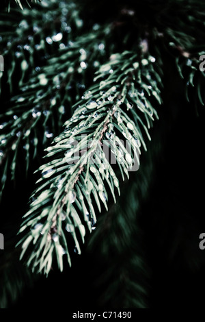 Pinus, Abies, Picea, Pine, Fir, Spruce, Green subject, - Stock Photo