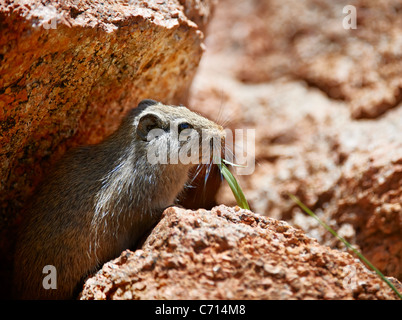 young Rock Hyrax, Procavia capensis, between rocks, Namibia, Africa - Stock Photo