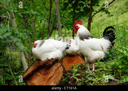 Light Sussex Hens with cockerel resting in woodland, Wales - Stock Photo