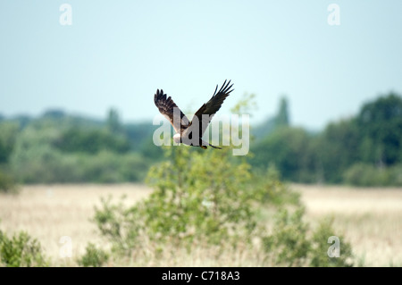 Female marsh harrier in flight - Stock Photo