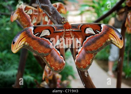 Atlas moth (Attacus Atlas), Butterfly park (Mariposa de Benalmadena), Benalmadena, Malaga, Province, Andalucia, - Stock Photo
