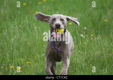 dog, ball, Weimaraner - Stock Photo