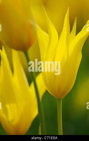 Tulipa speciosa Tulip yellow flower. - Stock Photo