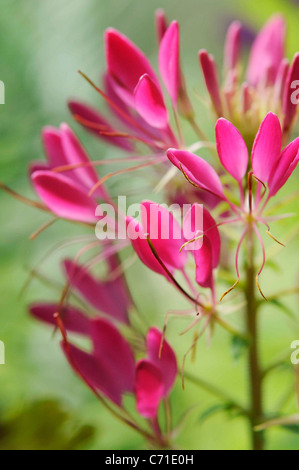Cleome hassleriana Spider flower Pink flowers on upright stems. - Stock Photo