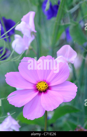 Cosmos bipinnatus Pink Cosmos flower amongst sweet pea flowers. - Stock Photo