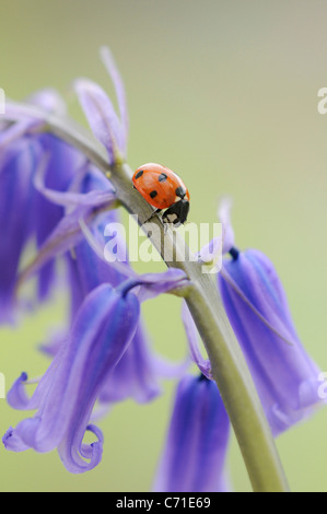 Hyacinthoides non-scripta Common English Bluebell or wild hyacinth with seven spot ladybird on the floral spike - Stock Photo