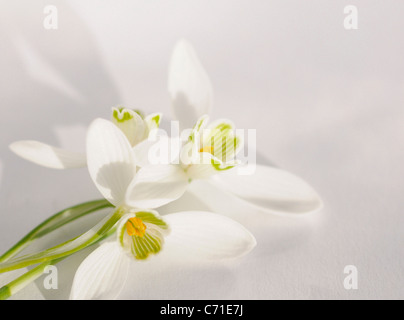 Galanthus nivalis Snowdrop White flowers against a white background. - Stock Photo