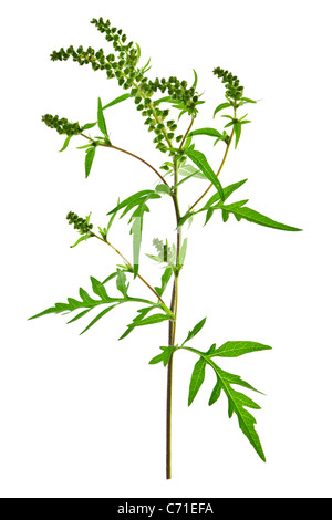 Ragweed plant in allergy season isolated on white background, common allergen - Stock Photo