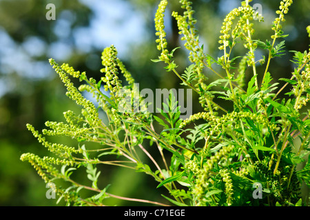 Flowering ragweed plant growing outside, a common allergen - Stock Photo