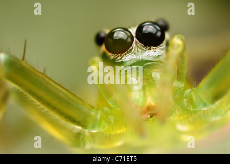 Photo is a green transparent jumper spider at the moment of jump. - Stock Photo