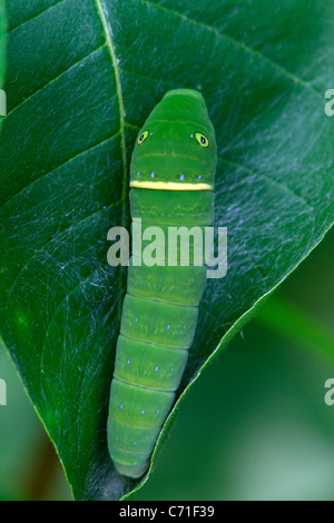 Caterpillar of the Eastern Tiger Swallowtail (Papilio glaucus). - Stock Photo