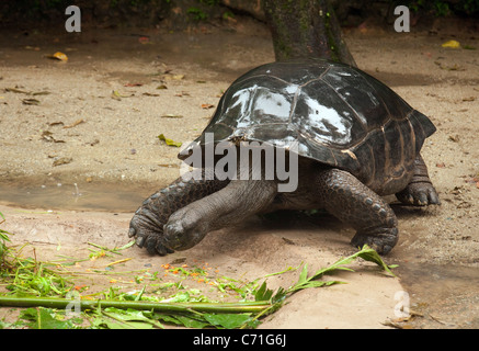 Aldabra Giant tortoise (Aldabrachelys gigantea) from the Seychelles islands, Singapore Zoo, - Stock Photo