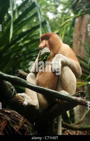 Adult Proboscis Monkey (Nasalis larvatus) feeding;  in Singapore Zoo, Singapore asia - Stock Photo