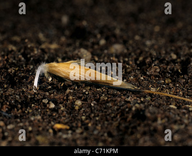 Wild oat (Avena fatua) seed beginning to germinate with root entering the soil - Stock Photo