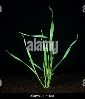 Wild Oat (Avena fatua) young tillering plant
