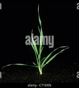 Wild Oat (Avena fatua) young tillering plant - Stock Photo