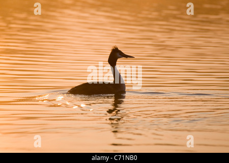 Great Crested Grebe at Sunrise on Hickling Broad Norfolk UK - Stock Photo