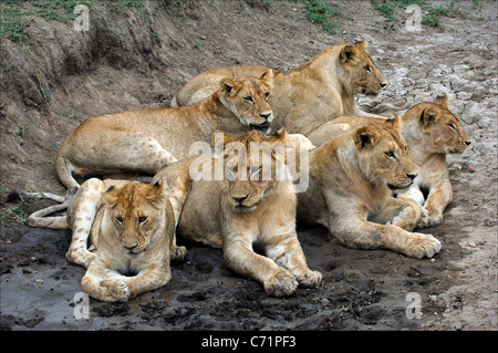 Seven lions. In hot day seven lions have a rest in a hollow. - Stock Photo