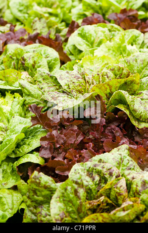 how to grow salad bowl lettuce