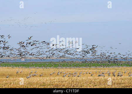 Common or Eurasian crane (Grus grus) dense flock in flight over maize stubble field near Baltic Sea shore, Hohendorf, Germany.
