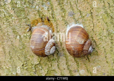 Two Edible snails (Helix pomatia) on a tree-trunk, one attached with a dried mucus epiphragm to prevent desiccation, - Stock Photo