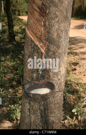 tapping a rubber tree with latex sap being collected in a coconut shell - Stock Photo