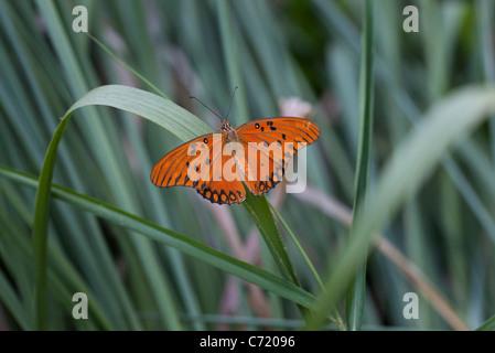 Gulf fritillary butterfly on blade of grass - Stock Photo
